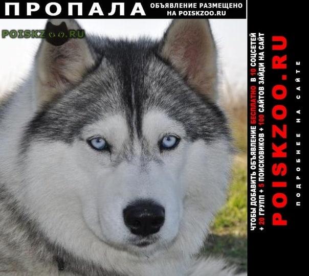 Пропала собака хаски, серо-белая, девочка, глаза голубые г.Ломоносов