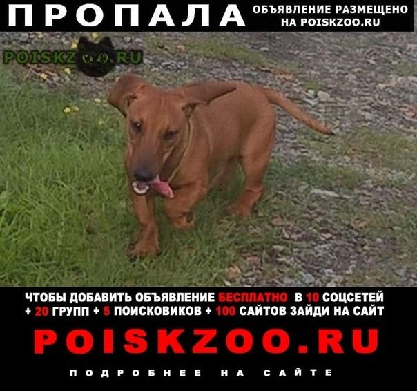 Пропала собака такса г.Верхняя Пышма
