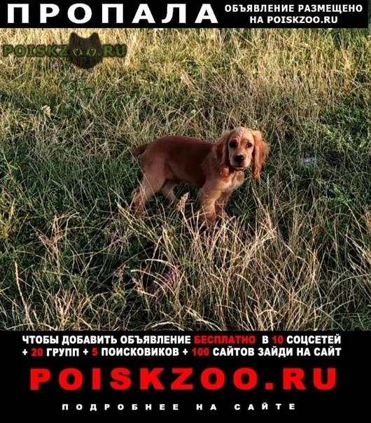 Пропала собака кобель кокер спаниель  г.Симферополь