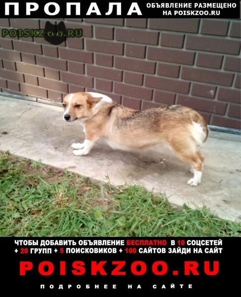 Пропала собака корги (метис) г.Москва