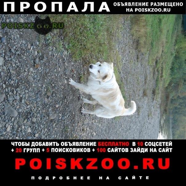 Пропала собака кобель крупный белый г.Новокузнецк