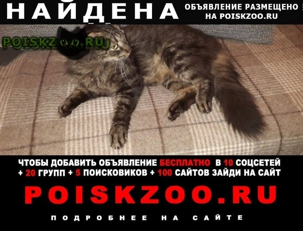 Найдена кошка кот домашний по виду как мейнкун г.Санкт-Петербург