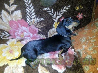 Найдена собака такса девочка г.Тула