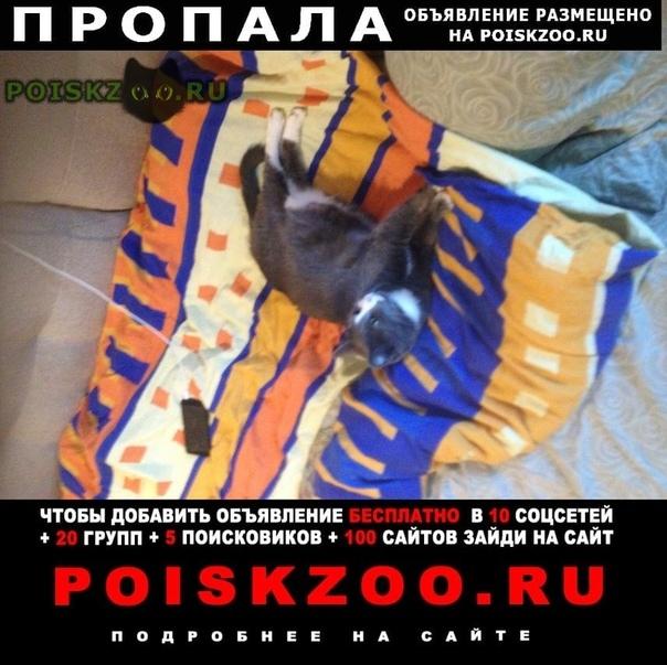 Пропала кошка зовут мося г.Великий Новгород (Новгород)