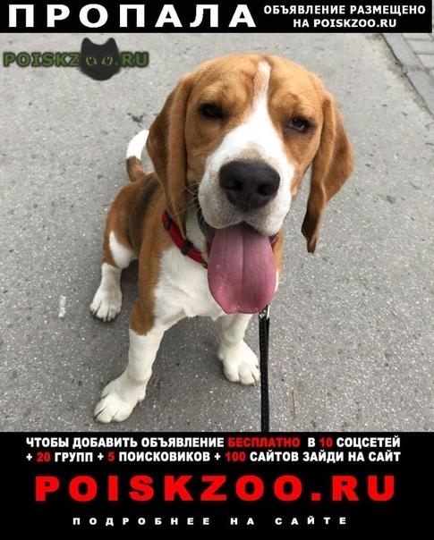 Пропала собака кобель бигль джес г.Барнаул