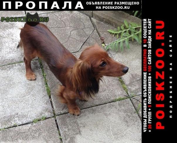 Пропала собака длинношерстная кроличья такса г.Москва