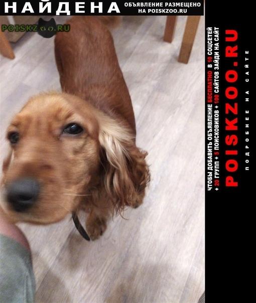 Найдена собака 6.11 рыжий спаниель г.Подольск