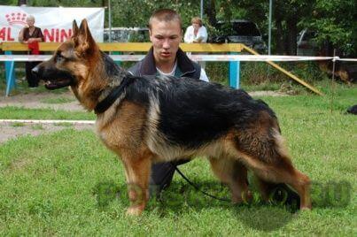 Найдена собака кобель немецкая овчарка кабель есть клеймо г.Красноярск