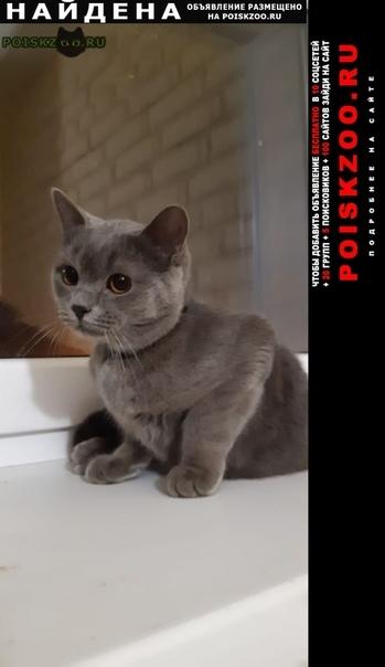 Найден кот британской породы г.Коломна