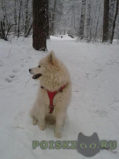 Пропала собака породы самоед г.Серпухов