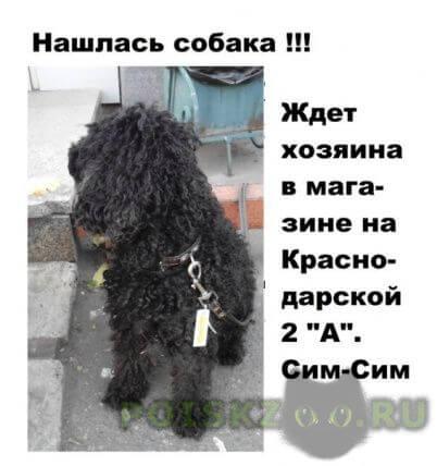 Найдена собака кобель малый пудель, на краснодарской г.Красноярск