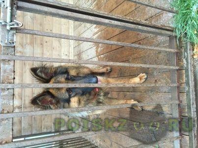 Найдена собака немецкая овчарка (девочка) г.Серпухов
