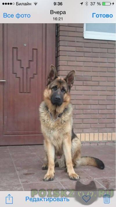 Пропала собака кобель немецкая овчарка ричард. г.Пушкино