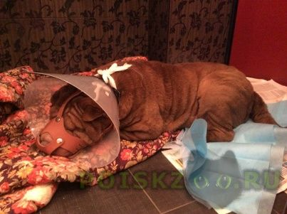 Найдена собака шар-пей г.Королев