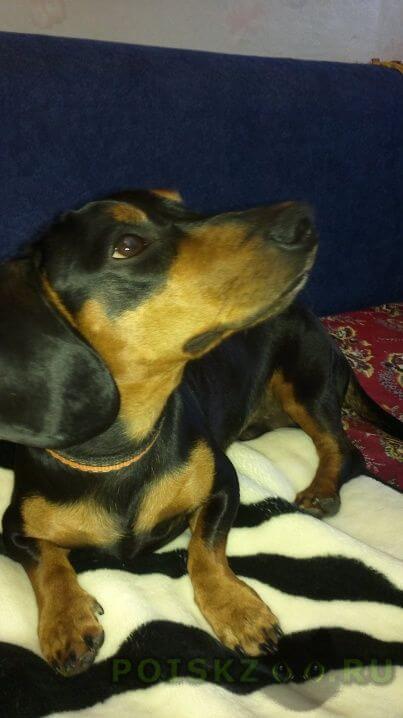 Найдена собака кобель такса . г.Саратов