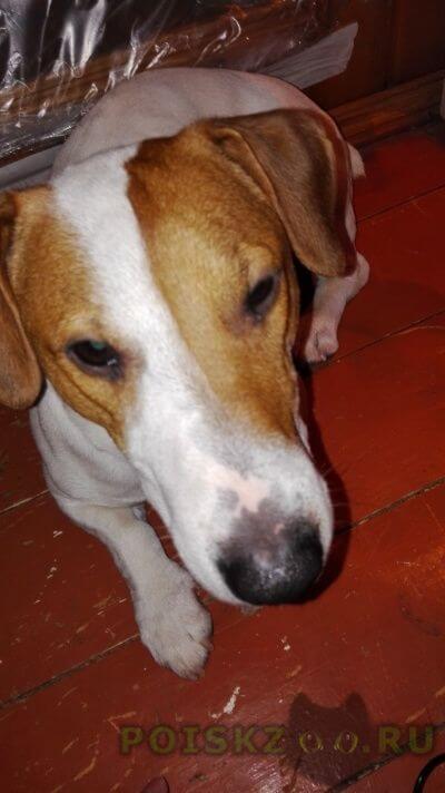 Найдена собака кобель джек-рассел-терьер г.Чехов