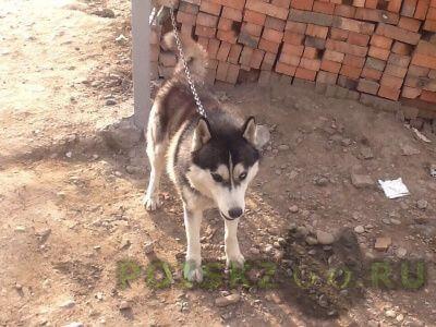 Найдена собака хаски на караульной г.Красноярск