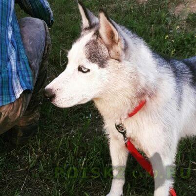 Пропала собака хаски г.Красноярск