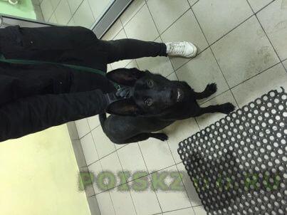 Найдена собака кобель черный, полгода, с красным ошейником г.Химки