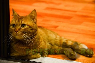 Пропал кот г.Красноярск
