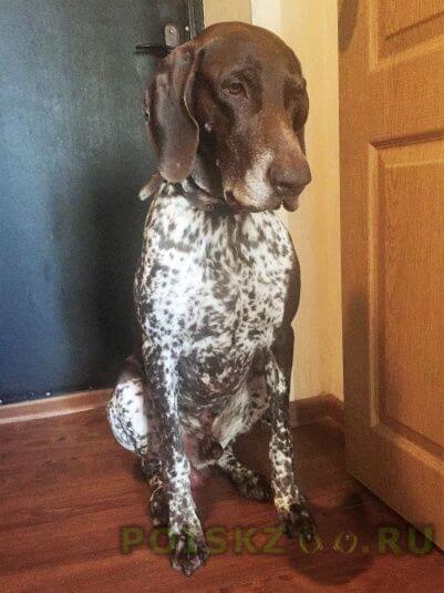 Найдена собака кобель курцхаар г.Москва