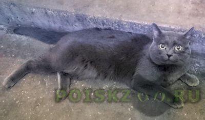 Найдена кошка британская короткошерстная г.Москва