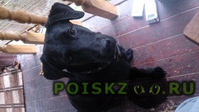 Найдена собака кобель г.Голицыно (Московская обл.)