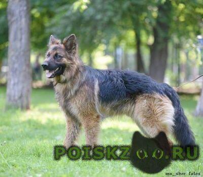 Найдена собака кобель овчар в д.рысиха г.Волоколамск