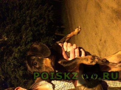 Найдена собака кобель такса мальчик г.Ильинский (Московская обл.)