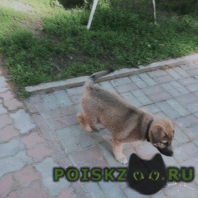 Найдена собака кобель бежевый щенок с черным ошейником г.Смоленск