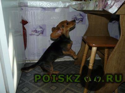 Найдена собака 17.06.16 щенок таксы девочка г.Москва