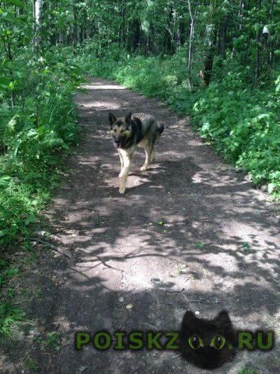 Найдена собака кобель 05.06.16 г.Пермь