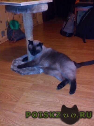 Пропал кот тайский или сиамский г.Санкт-Петербург