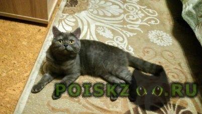 Пропал кот британец- метис г.Солнечногорск