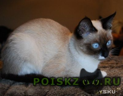Пропала кошка, потерялась  сиамская г.Екатеринбург