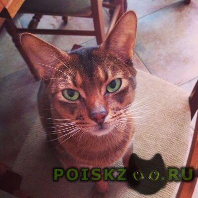 Пропал кот абиссинской породы г.Щелково