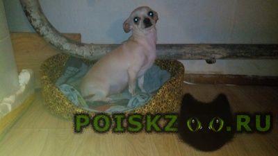 Пропала собака девочка той - терьер г.Ярославль