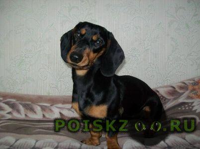 Пропала собака г.Кемерово