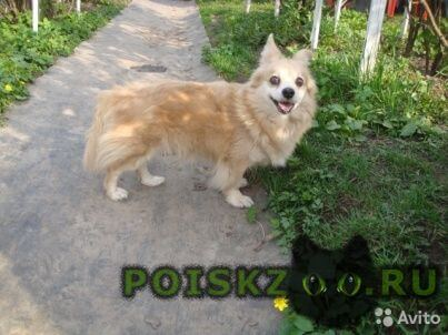 Пропала собака собачка зита г.Алексин