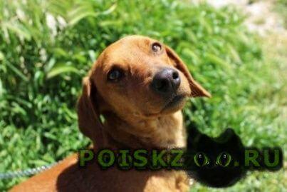 Пропала собака рыжая такса г.Севастополь