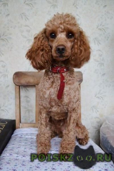 Пропала собака кобель чарлик г.Тольятти