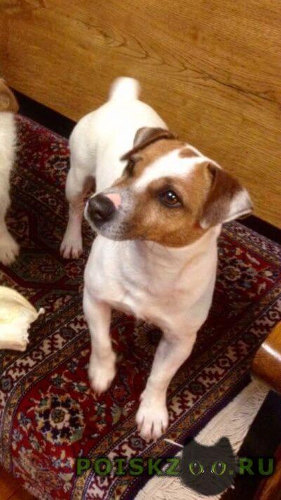 Пропала собака кобель джек рассел терьер г.Руза