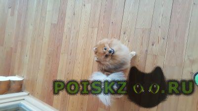 Пропала собака кобель померанский шпиц г.Нижний Новгород