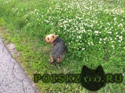 Пропала собака кобель йоркширский терьер г.Зеленоград