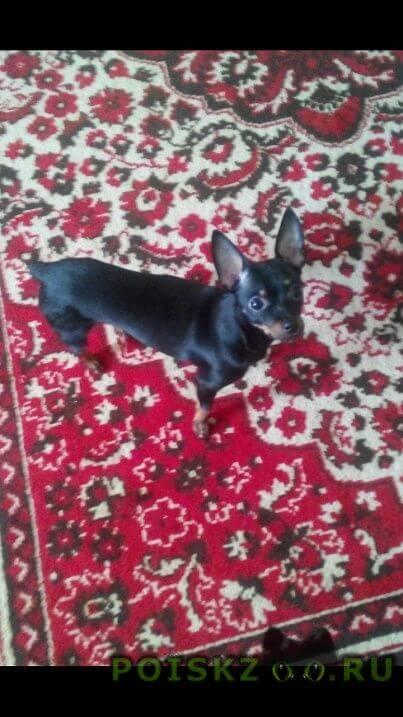 Пропала собака кобель той - терьер г.Красноярск