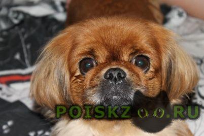 Пропала собака пекинес рыжого цвета г.Тюмень