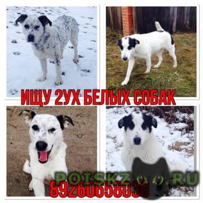 Пропала собака белые с пятнами метисы далматина г.Егорьевск