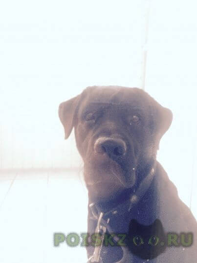 Найдена собака 30.08.2015г. в районе скк им. в.м.блинова лабрадор г.Омск