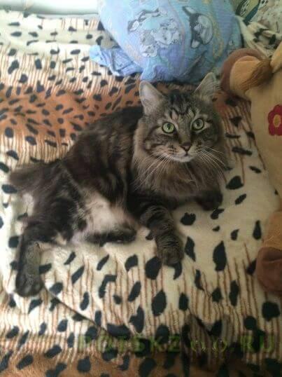 Пропал кот г.Дубна