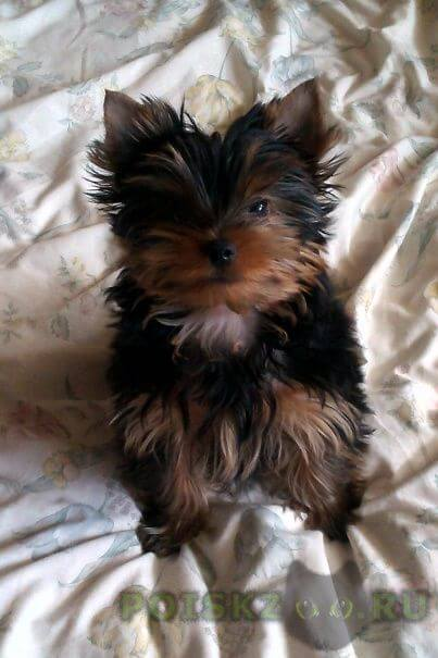 Пропала собака кобель йоркширский терьер 4 месяца г.Калининград (Кенигсберг)